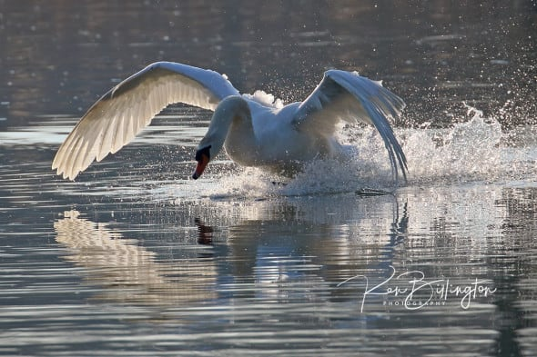 Making a Splash - Mute Swan