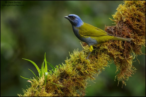 Blue-capped Tanager (Thraupis Cyanocephala)