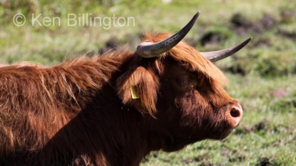 Cattle (Bos taurus) (6)