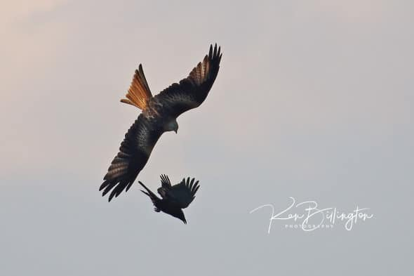 Aerial Combat - Red Kite and Crow