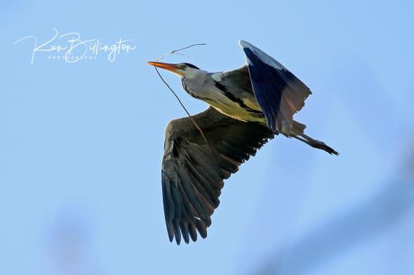 Nestbuilding - Grey Heron