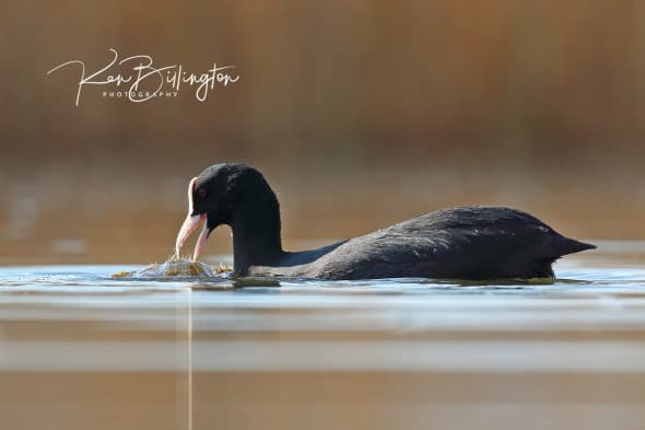 At Water Level - Coot Feeding