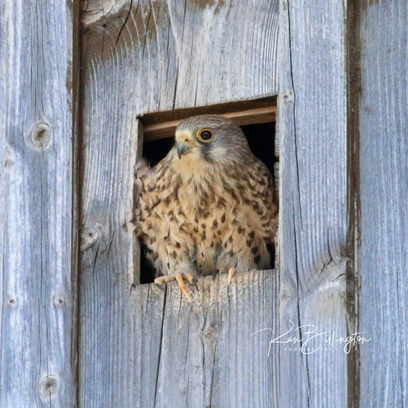 Kestrel in Nest Box