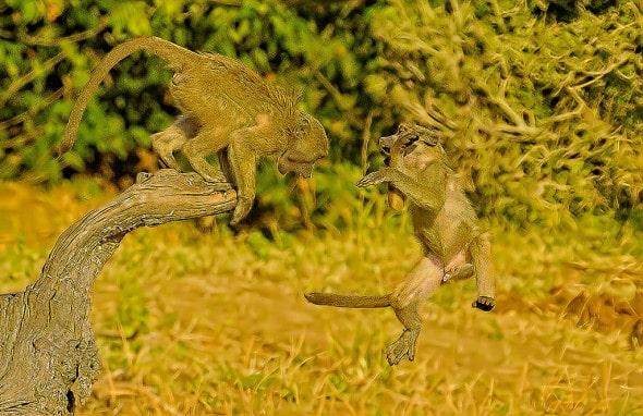 Chacma Baboons (Papio Ursinus) Playing