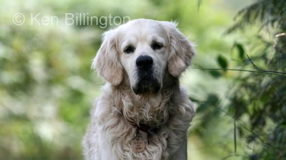Dog (Canis lupus familiaris) (2)