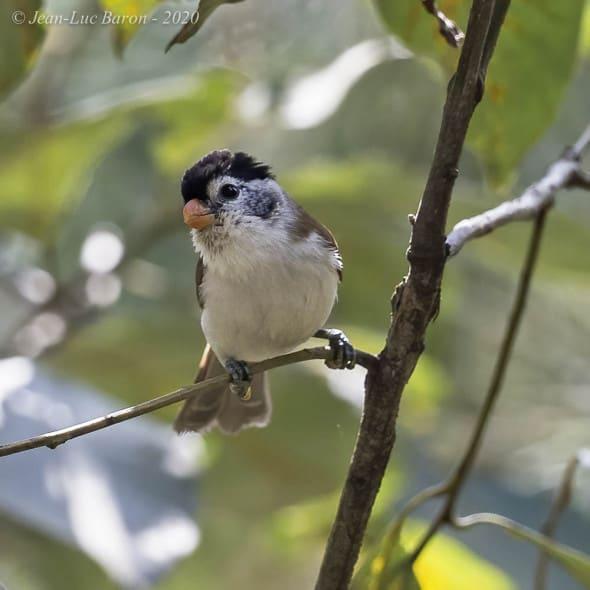 Black-headed Parrotbill Psittiparus margaritae