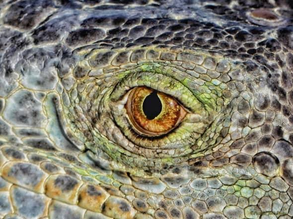Eye of a Yucatan Iguana.