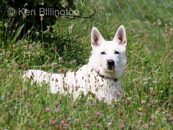 Dog (Canis lupus familiaris) (3)