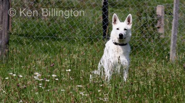 Dog (Canis lupus familiaris) (4)