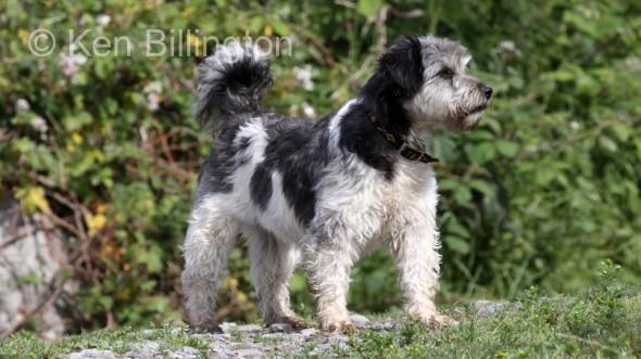 Dog (Canis lupus familiaris) (5)