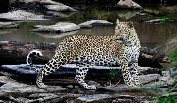Queen Leopard