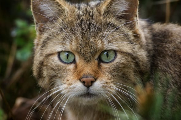 Face to Face with the Wildcat