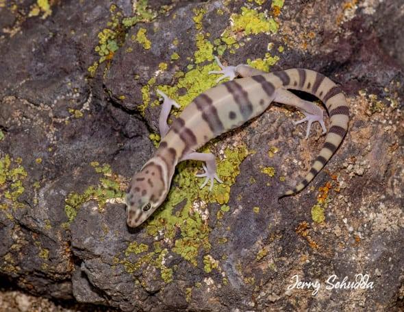 Western Banded Gecko
