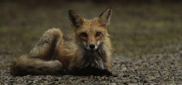 Wet Fox on Driveway