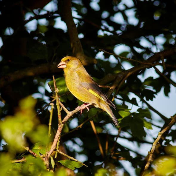 Greenfinch in the Evening Light