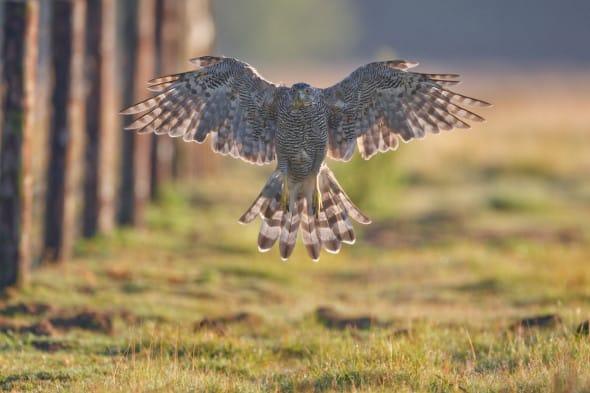 Northern Goshawk Spreads Its Wings