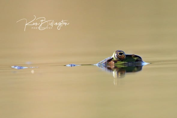 Frog at Eye Level