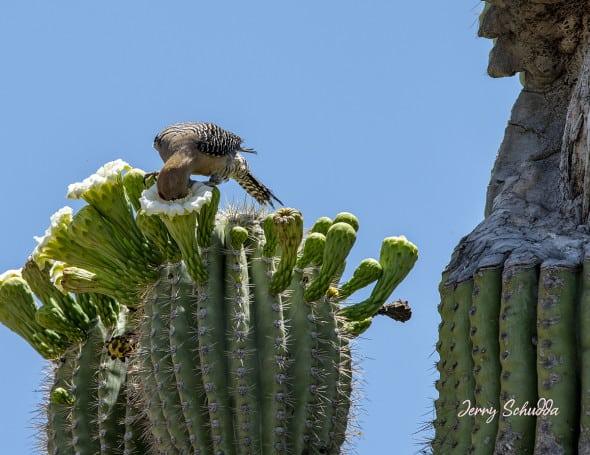 Gila Woodpecker on Saguaro Cactus