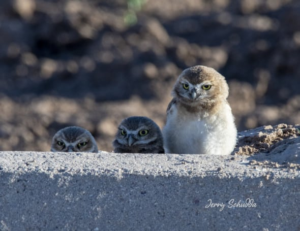 Burrowing Owl Owlets