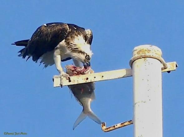 "Skilled ""fisherman"" - Yucatan Osprey"