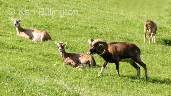 European mouflon (Ovis orientalis musimon) (5)