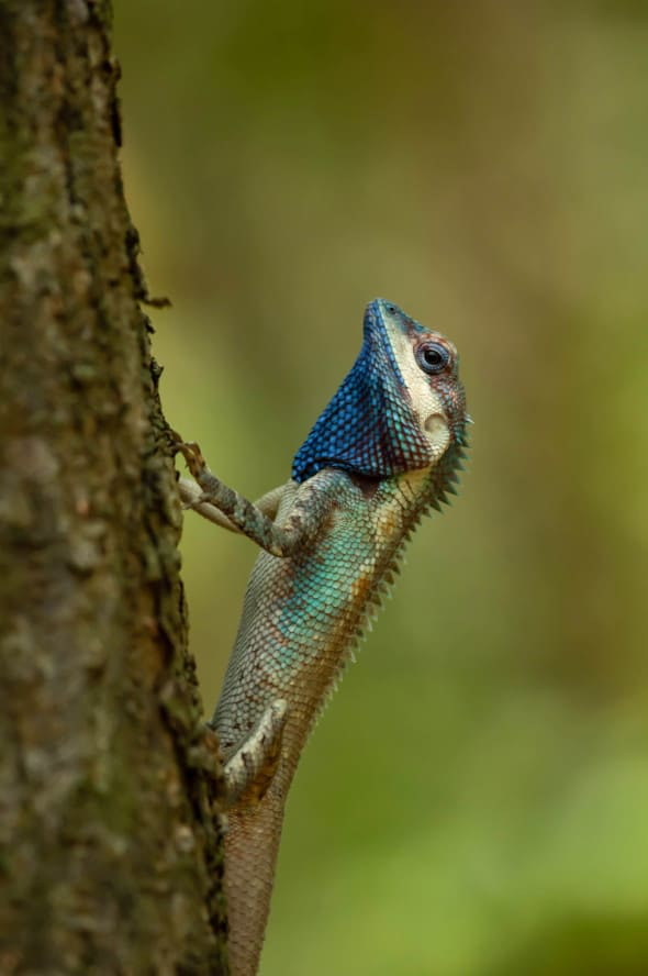 Calotes Mystaceus: This Tree is Mine.