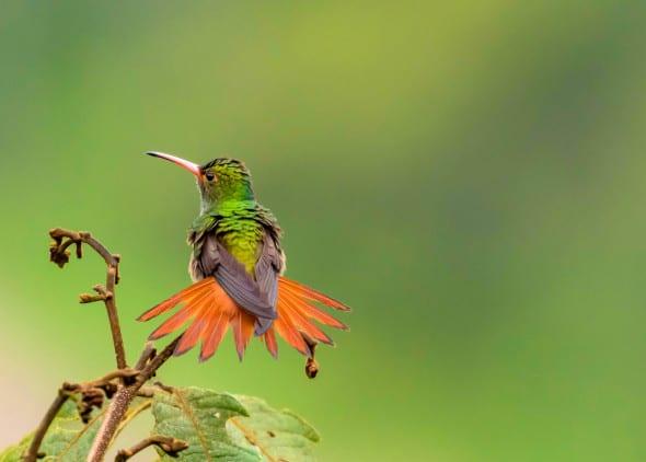 Rufous-tailes Hummingbird