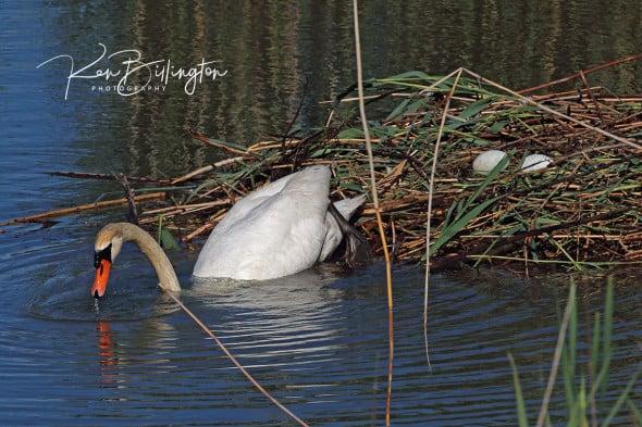 Going Off Duty - Mute Swan
