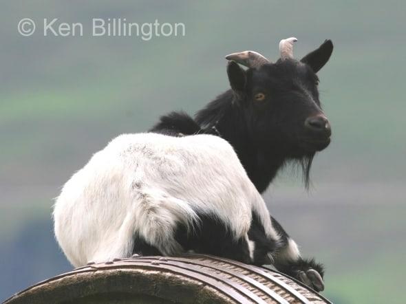 Goat (Capra aegagrus hircus) (2)