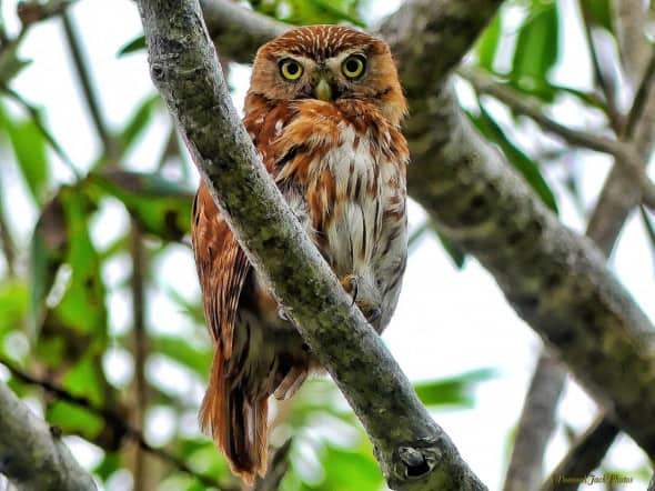 Curious Pygmy Owl