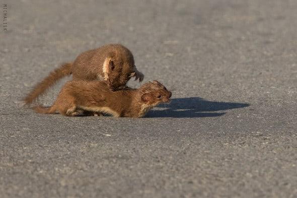 Weasels Fighting