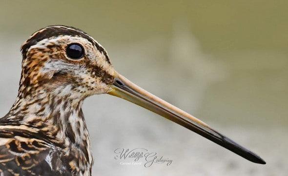 Snipe: Quite a Beak!