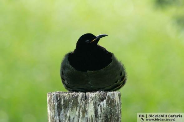 Victoria's Riflebird (Ptiloris Victoriae)