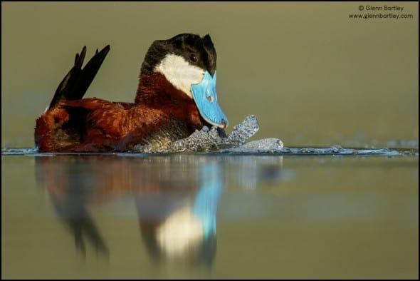 Ruddy Duck (Oxyura Jamaicensis)