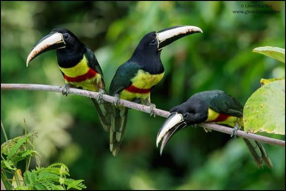 Black-necked Aracari (Pteroglossus Aracari)