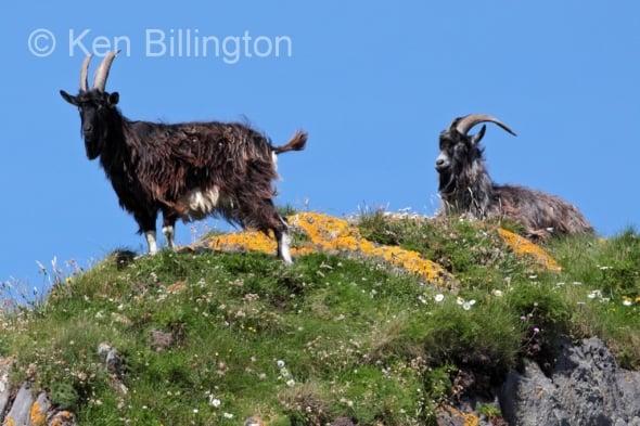 Goat (Capra aegagrus hircus)
