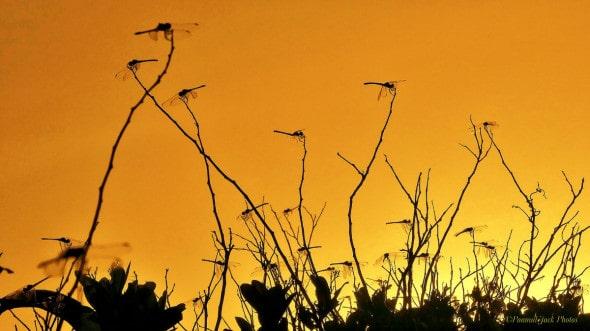 Dragonflies at Sunset
