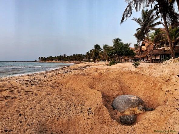 Giant Sea Turtle Mama Preparing to Nest