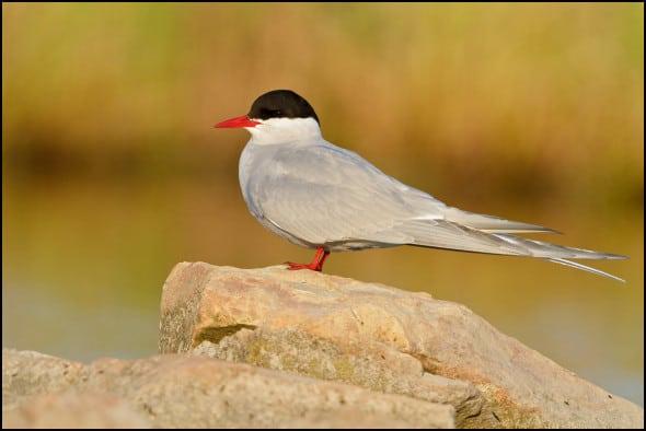 Arctic Tern (Strena Paradisaea)