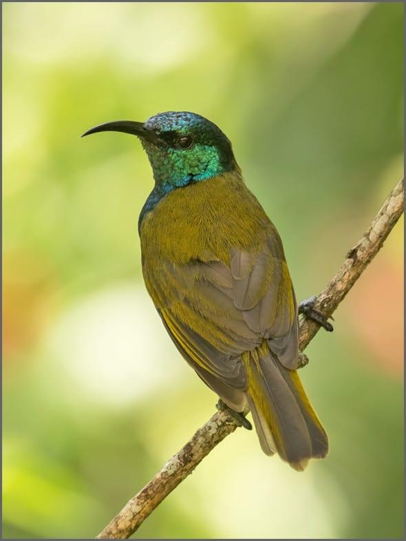 Green-headed Sunbird Male