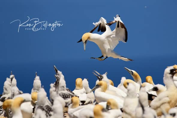 Touch Down - Australasian Gannet