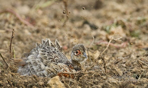 Young Pheasant Sand Bathing