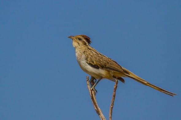 Striped Cuckoo (Tapera Naevia)