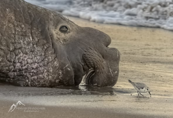 Male Northern Elephant Seal and Friend