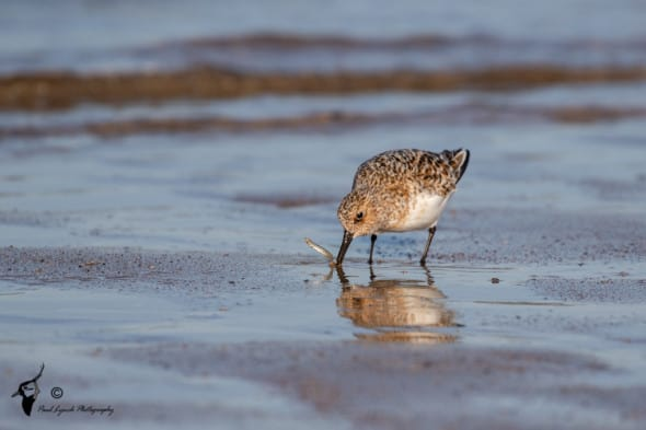 Sanderling Fishing