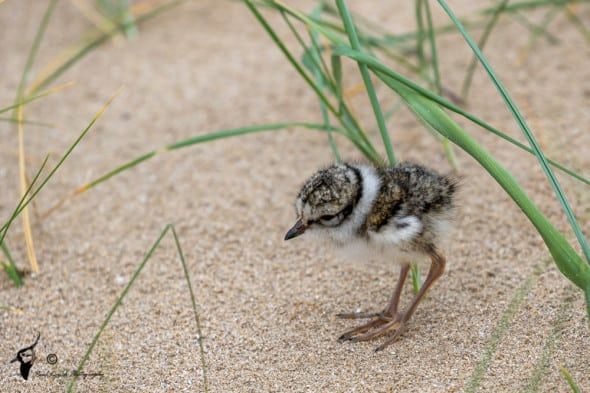 Ringed Plover Chick