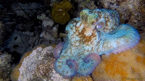 Caribbean Octopus at Night