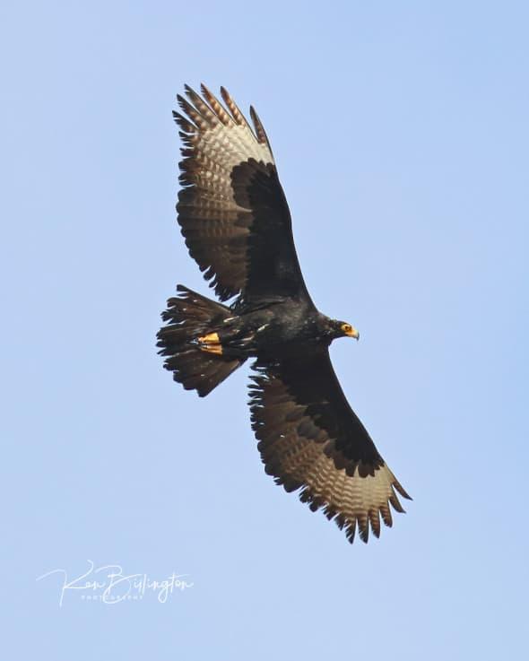 Flying High - Verreauxs Eagle