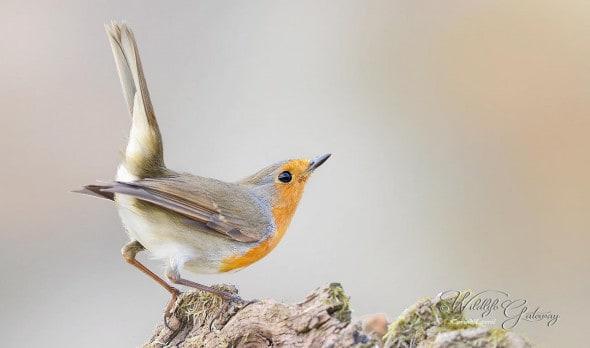 Just a Robin!