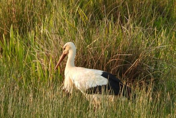 Great White Stork